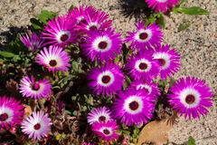 Wild Portulaca Splendour of south western Cape, south Africa. Wild flowers of the south-western Cape, South Africa, growing prolifically and creating carpets of royalty free stock photo