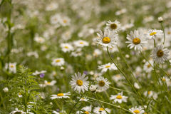 Wild flowers in sprigtime. Wild flowers growing in sprigtime Stock Photos