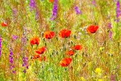 Wild flowers. Royalty Free Stock Photo