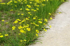The wild flowers. In spring,flowers are blooming all over the field.It becomes the yellow ocean stock photos
