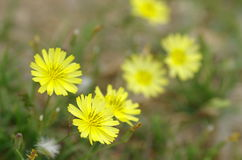The wild flowers. In spring,flowers are blooming all over the field.It becomes the yellow ocean royalty free stock photography
