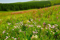 The wild flowers on the steppe Royalty Free Stock Image