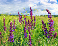 Wild flowers in steppe Stock Photography
