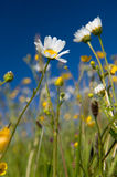 Wild flowers in summer Royalty Free Stock Image