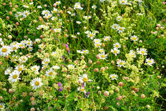 Wild flowers at summer. Royalty Free Stock Images