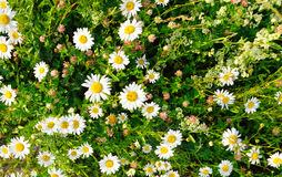 Wild flowers at summer. Stock Image