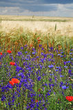 Wild flowers summer field Royalty Free Stock Image