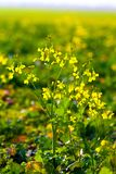 Wild flowers in sunset Stock Photography