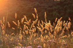 Wild flowers at sunset. A view of wild flowers in the golden light of the setting sun Stock Photos