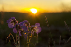 Wild flowers at sunset. Wild flowers against the background of setting the sun Royalty Free Stock Photo