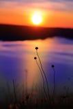Wild flowers  on sunset background Royalty Free Stock Photo