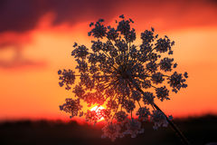 Wild flowers on sunset background Royalty Free Stock Images