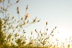 Wild flowers at sunset. Meadow flowers in backlight at sunset Royalty Free Stock Photos