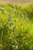 Wild flowers at sunset. Meadow flowers in backlight at sunset Royalty Free Stock Photography