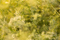 Wild flowers at sunset. Meadow flowers in backlight at sunset Stock Photo