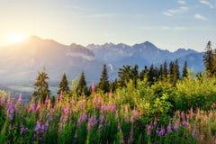 Wild flowers at sunset in the mountains. Poland. Zakopane Royalty Free Stock Photos