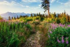 Wild flowers at sunset in the mountains. Poland. Zakopane. Stock Photos