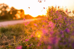 Wild flowers. At sunset next to road Royalty Free Stock Photo