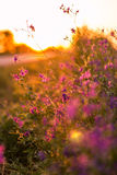 Wild flowers. At sunset next to road Royalty Free Stock Images