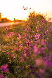 Wild flowers. At sunset next to road Royalty Free Stock Photography