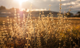Wild flowers in sunset Royalty Free Stock Photo