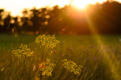 Wild flowers into a sunset sky Royalty Free Stock Photos