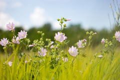 Wild flowers at sunset Stock Photography
