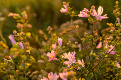Wild flowers. At sunsetin the meadow Stock Images