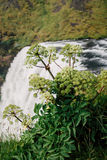 Wild flowers on top of Skogafoss waterfall, Iceland Royalty Free Stock Photo