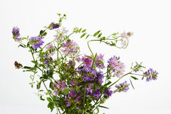 Wild flowers, vetch, crown vetch and tufted vetch. Isolated on white background Royalty Free Stock Photos