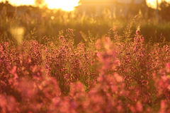 Wild flowers in the village at sunset. Blooming field on a warm summer evening Stock Image