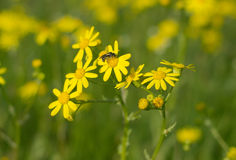 Wild flowers with wasp Stock Image