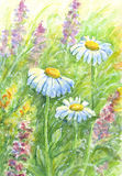 Wild flowers - watercolor painting. Three daisies among other wild flowers and grass in morning light with dew drops. Watercolor painting Stock Images