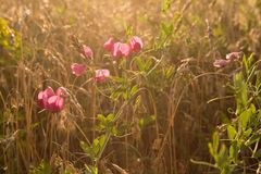 Wild flowers in the wheat field. At sunset Royalty Free Stock Photography