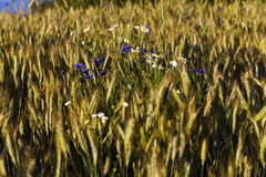 Wild flowers in wheat field Stock Images