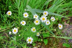 Wild Flowers White in Grass Stock Photo Background. Wild Tiny Flowers White in Grass Stock Photo Background stock photos