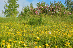 Wild flowers, wild rose flowers and butterfly. The summer landscape with wild flowers on a meadow, rosehip and a butterfly Stock Photos