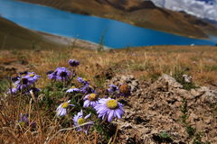 Wild flowers at Yamdrok Lake in Tibet. Yamdrok Lake (also known as Yamdrok Yumtso or Yamzho Yumco) is a freshwater lake in Tibet, it is one of the three largest Stock Photo