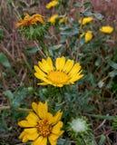Yellow wildflowers. Yellow wild flowers Stock Photography