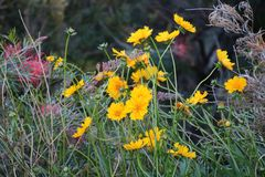 Wild flowers. Yellow wild flowers, pink grevilleas and grasses in a country garden on a lovely autumn day stock image