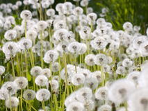 Wild fluffy dandelions. Wild and fluffy dandelion flowers Royalty Free Stock Photos
