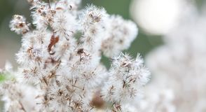 Wild fluffy flowers landscape beautiful bokeh. Abstract white plant flying seeds on soft blurred background, selective royalty free stock photography