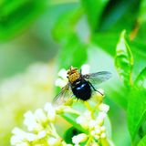 Wild fluga Arkivfoton