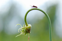 Wild fly on garlic Stock Images