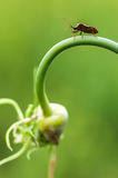 Wild fly hemiptera Stock Images