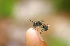 Wild fly on human finger Royalty Free Stock Photo