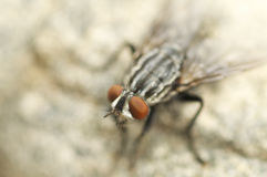 Wild fly portrait in summer Royalty Free Stock Image