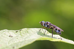 Wild fly Stock Photography