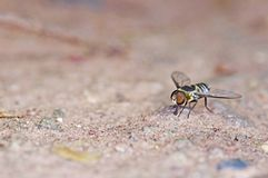 Wild fly Stock Images