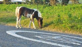 Wild foal Royalty Free Stock Photo